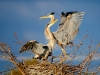 540z2213great-blue-heron_1
