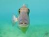 7q7a5117graytriggerfish