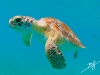 7q7a0675greenseaturtlest-john2014_1a