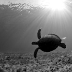 7Q7A8294GreenSeaTurtleBocaGreenSeaTurtleBocaBW