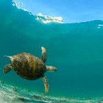 7Q7A8424GreenSeaTurtleBoca