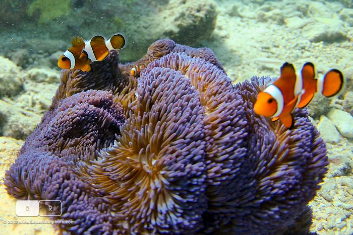 540Z1332LancesRightClownFish
